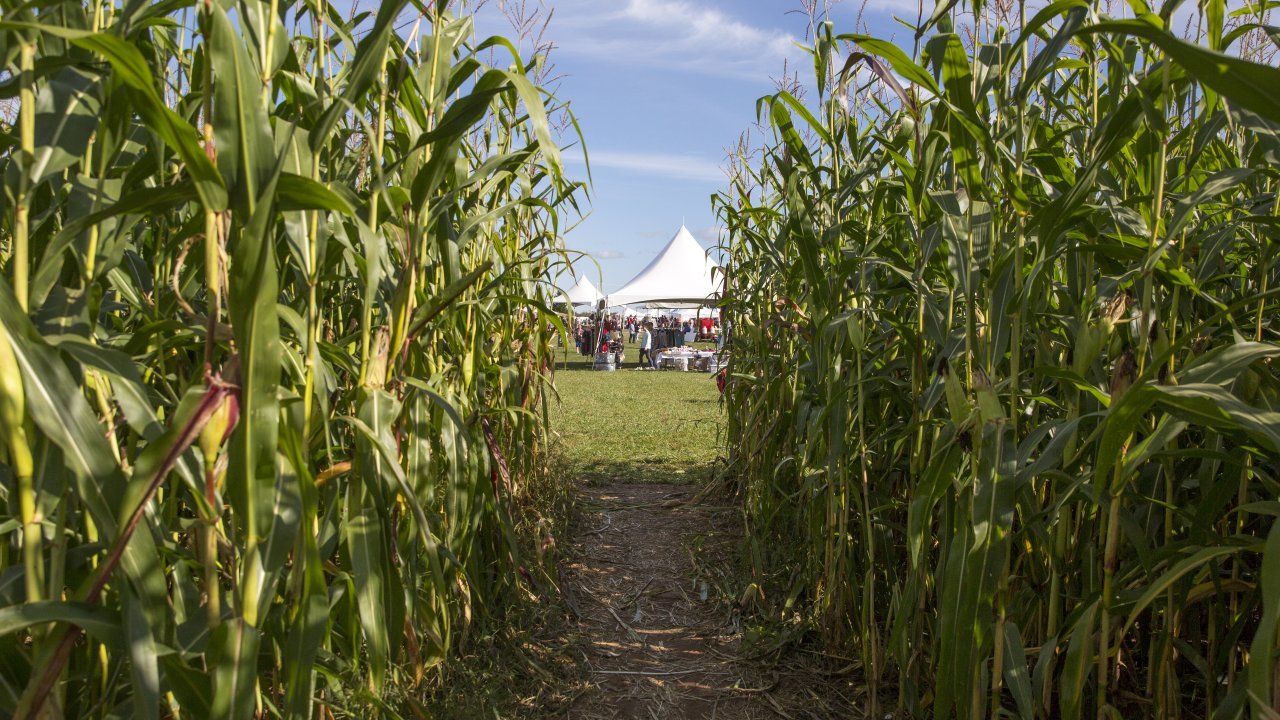 image of cornfield from inside looking out