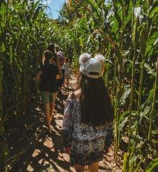 little girl walking in corn maze